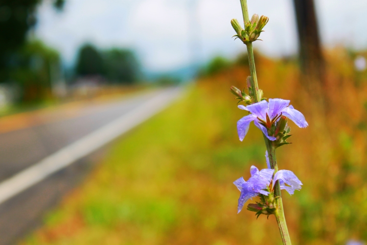 hit-the-road-chicory_19615670295_o